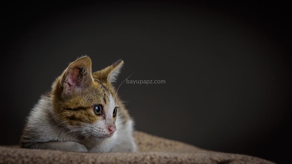strobist three point lighting tiga lampu kucing kitten photography 1