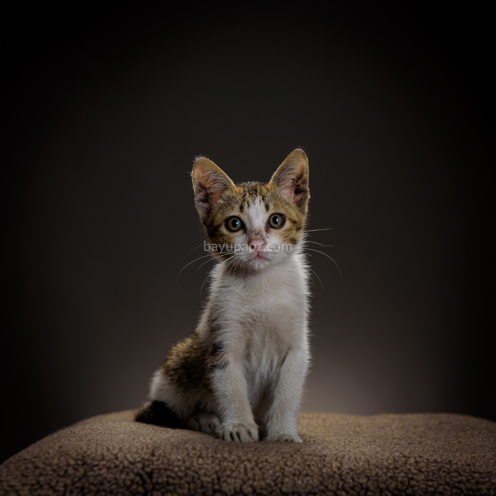 strobist three point lighting tiga lampu kucing kitten photography 10