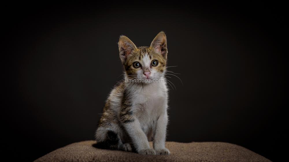 strobist three point lighting tiga lampu kucing kitten photography 2