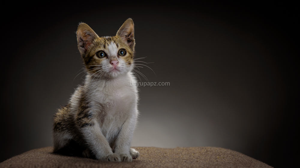 strobist three point lighting tiga lampu kucing kitten photography 3