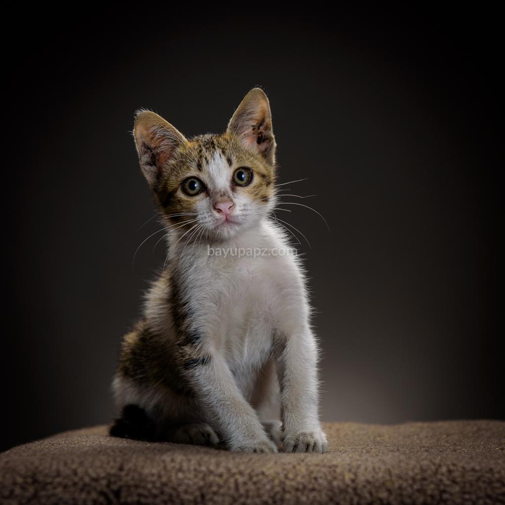 strobist three point lighting tiga lampu kucing kitten photography 4