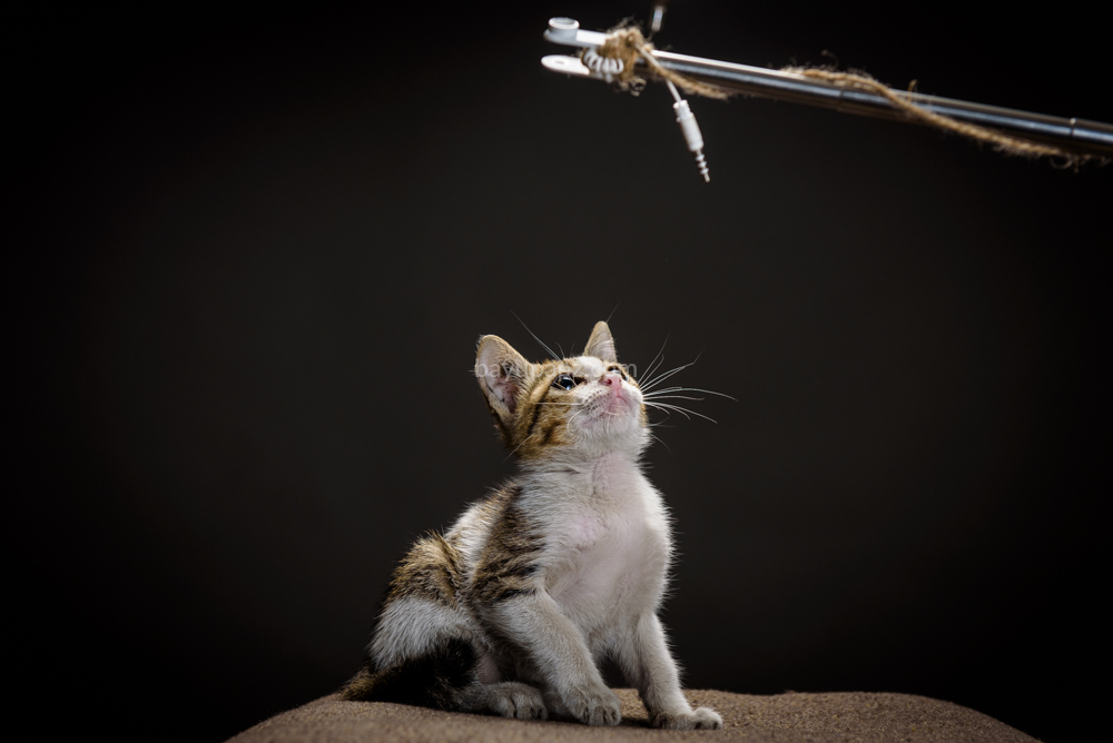 strobist three point lighting tiga lampu kucing kitten photography 6