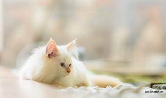 Jenis-Jenis Vaksin Untuk Kucing
